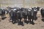 Imagens de uma Ferra realizada na ganadaria José Dias
