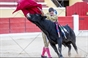 As imagens da novilhada popular na Moita