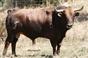 Os touros Pégoras para Moura